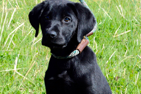 Southfork Retrievers | Dog Training WI and IL, Lab Breeder