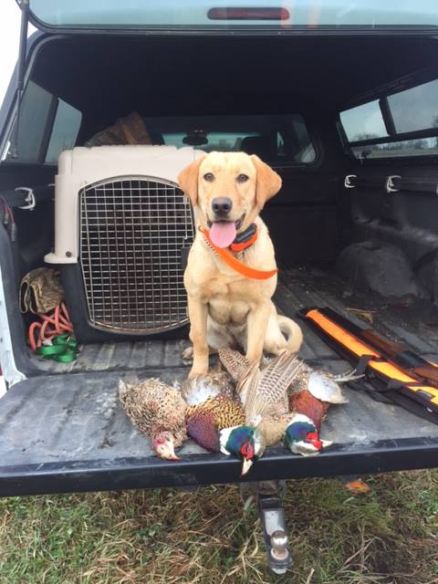 Southfork Retrievers   Dog Training WI and IL, Lab Breeder