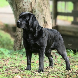 English Labrador Puppies - Romeo x Addie - Breeding Expected January 2020